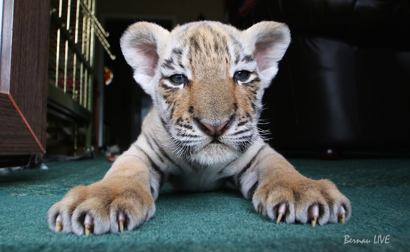 Bernau - LIVE bei Tiger Diego zu Besuch