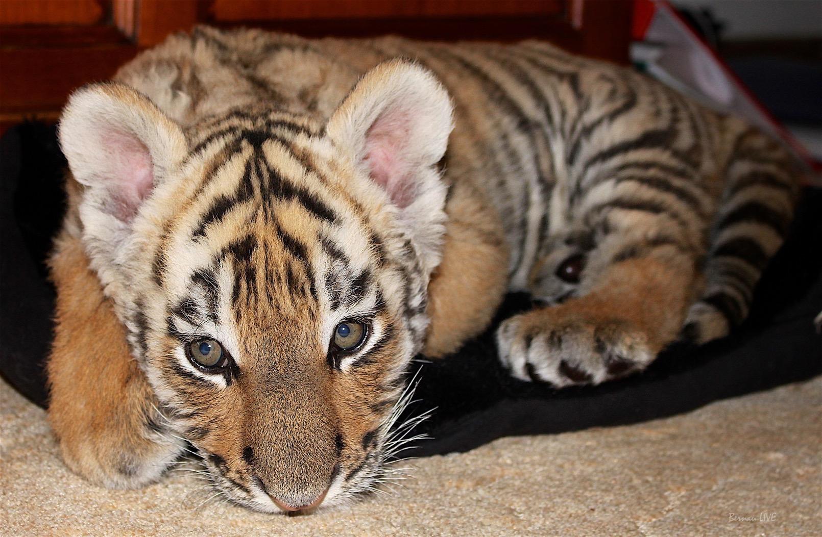 Bernau: Jetzt für unseren Findel - Tiger DIEGO voten!