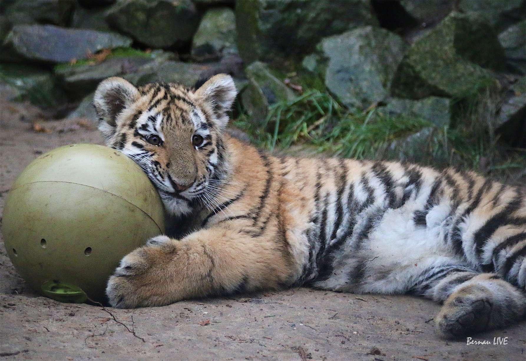 Tiger Diego - Wildkatzenzentrum_Felidae