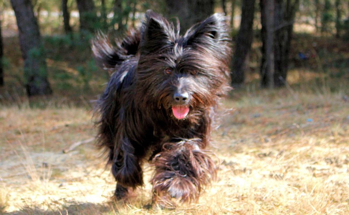 Tierheim Ladeburg, Bernau, Hund, Berger de Picardier, Tierschutzverein Niederbarnim