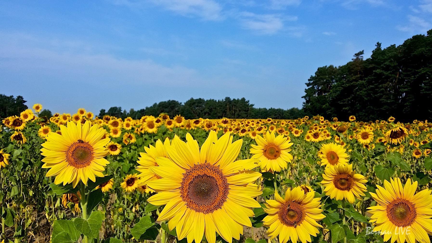 Bernau-Barnim, veranstaltungstipps, Wochenende, Sonnenblumen, Sommer, Barnim, Bernau, Bernau LIVE