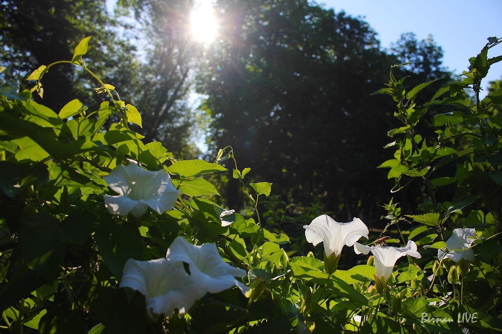 Bernau, Bernau LIVE, Blumen, Sommer Stadtpark, Barnim,