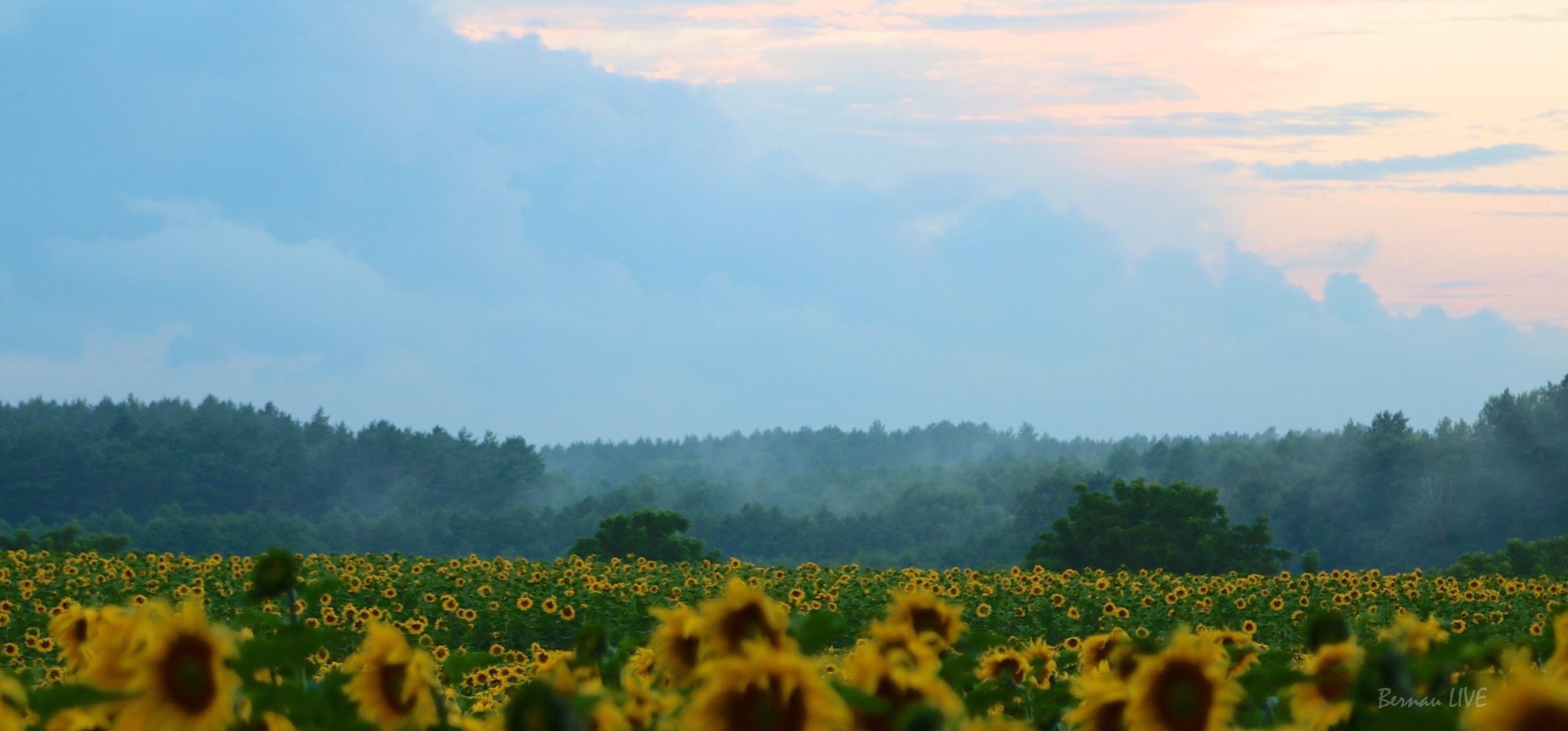Barnim, Sonnenblumen, Feld, Natur, Morgen, Bernau, Biesenthal, Bernau LIVE