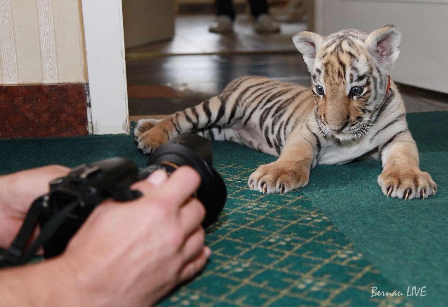 Bernau: Unser Bernauer Tiger DIEGO gleich im TV