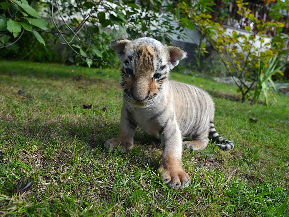 Bernau: Oh, den will ich haben! Tigerbaby DIEGO in Bernau ausgesetzt! Und nun ist die Hilfe aller gefragt! Bernau LIVE