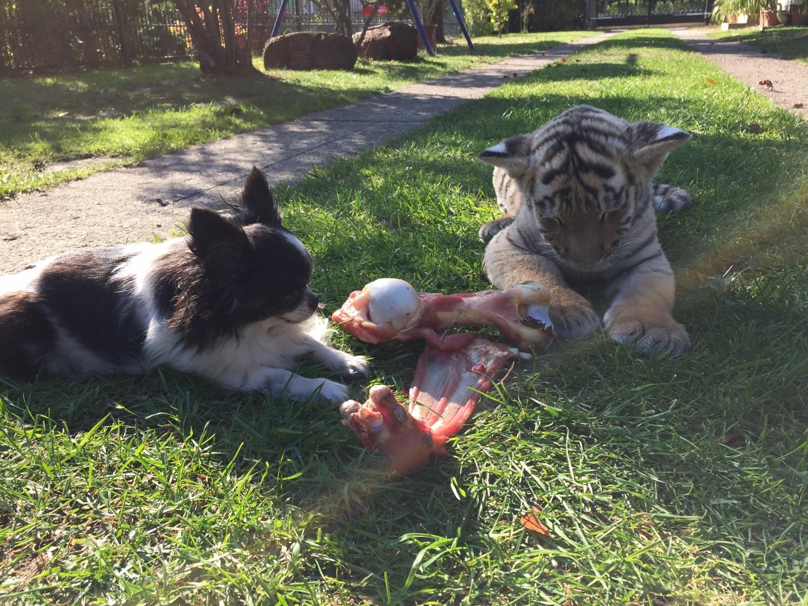 Liebe Abend-Grüße von unserem Findel-Tiger-DIEGO