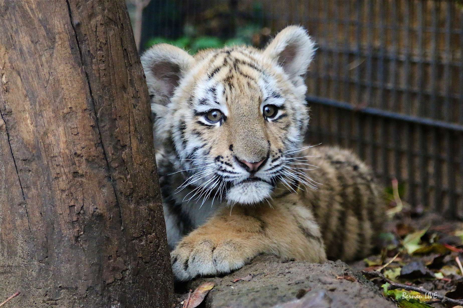 Bernau: Tiger Diego zog nach Tempelfelde