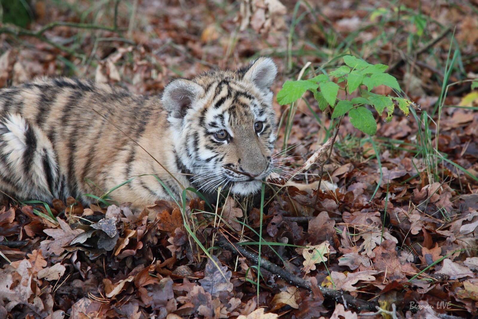 Tiger DIEGO aus Bernau