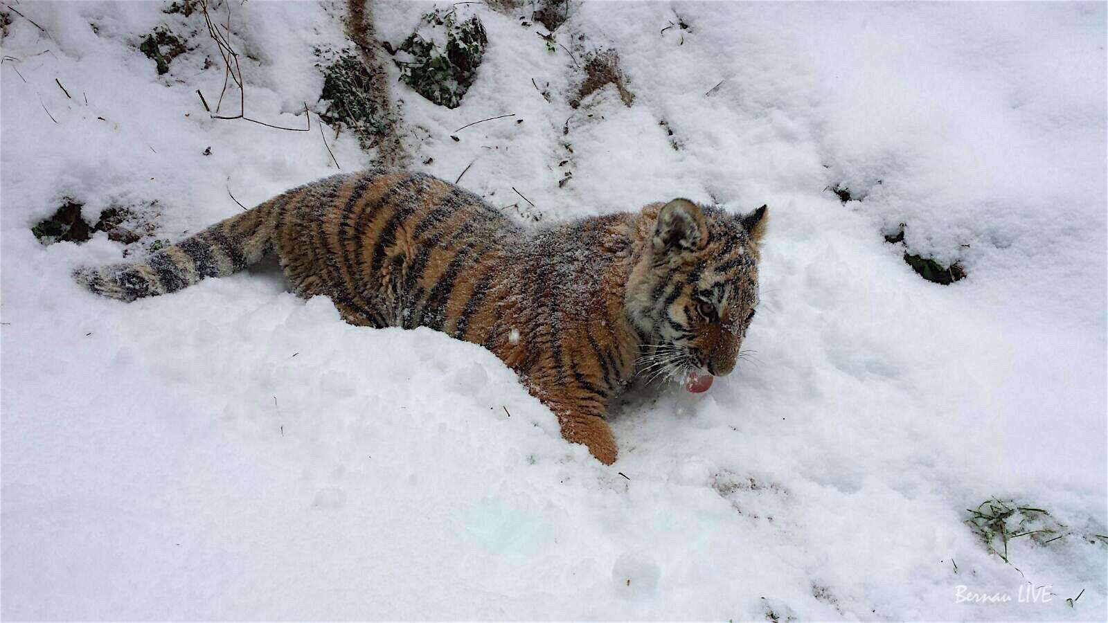 Bernau: Wir haben unser Tiger DIEGO Fundingziel erreicht