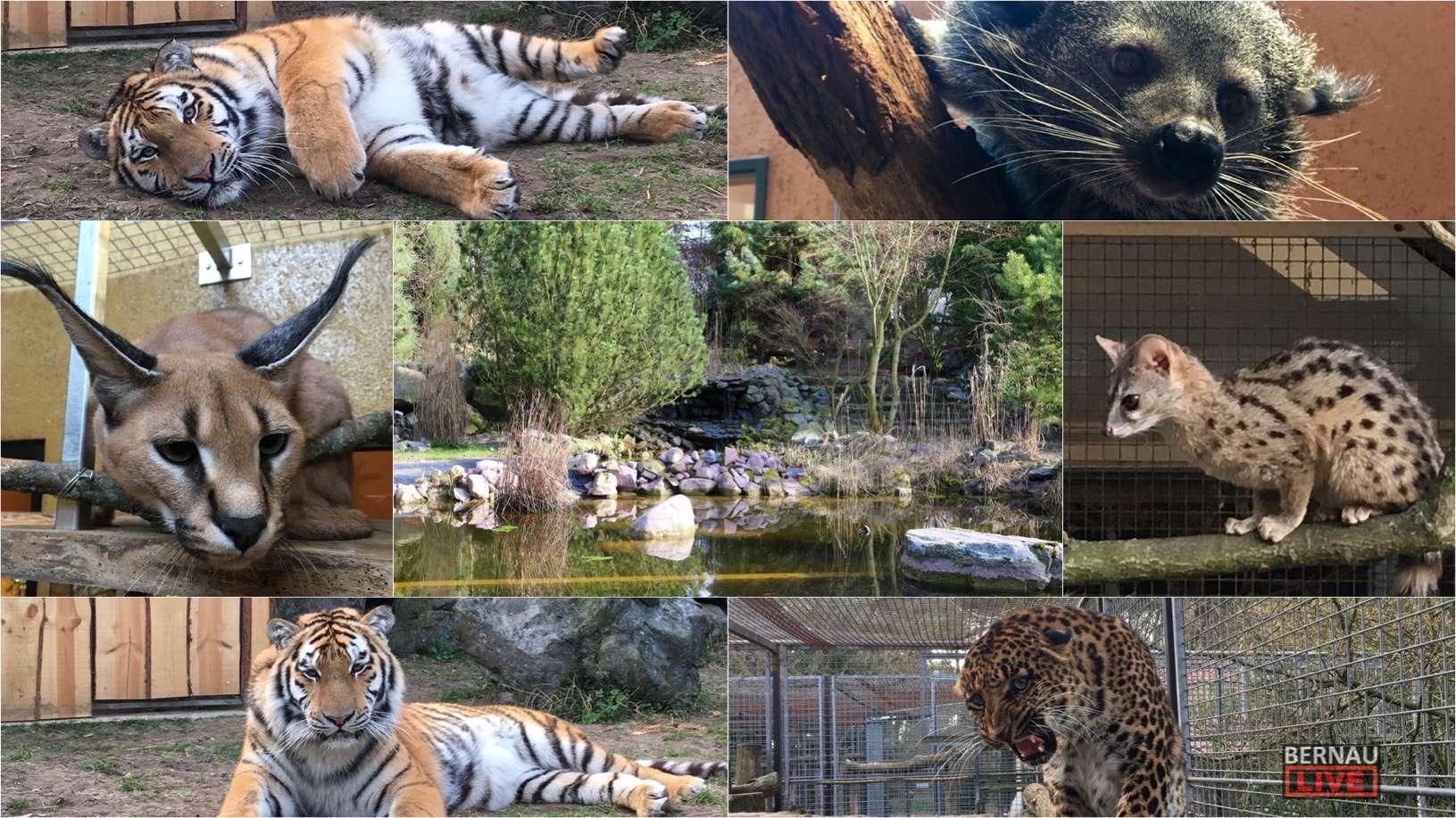 Reges Frühlingstreiben im Wildkatzenzentrum Felidae