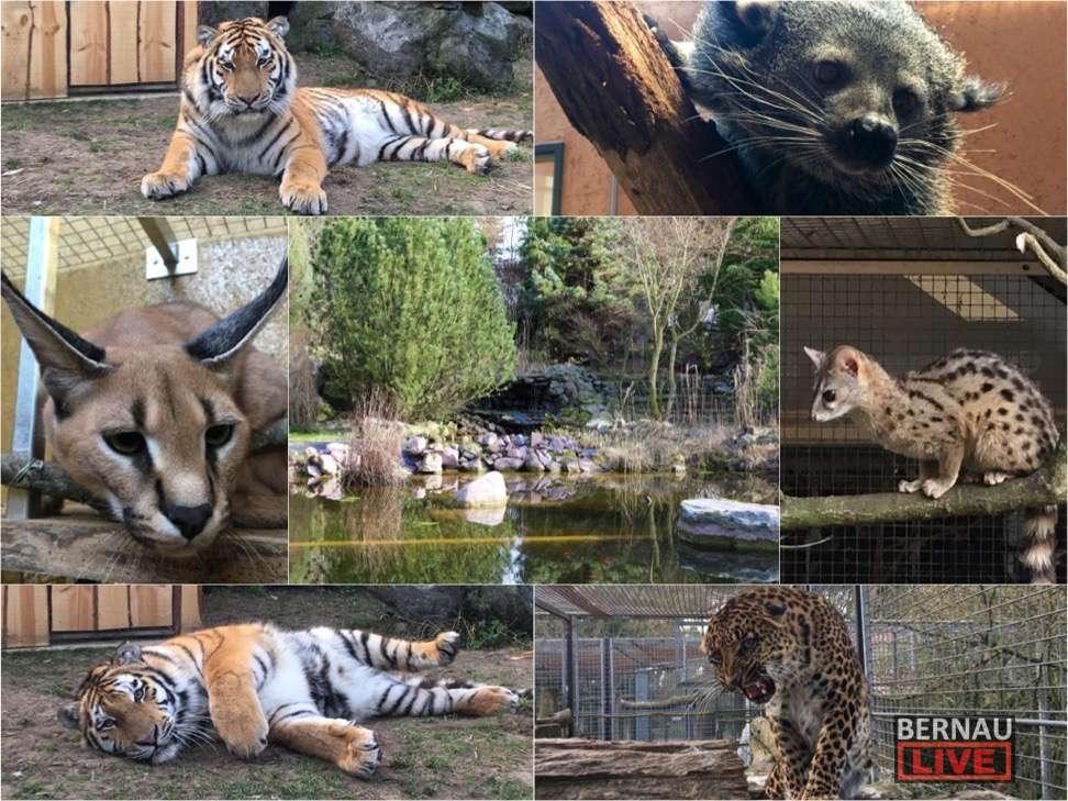 Wildkatzenzentrum Felidae: Baugenehmigung für Tiger DIEGO-Gehege