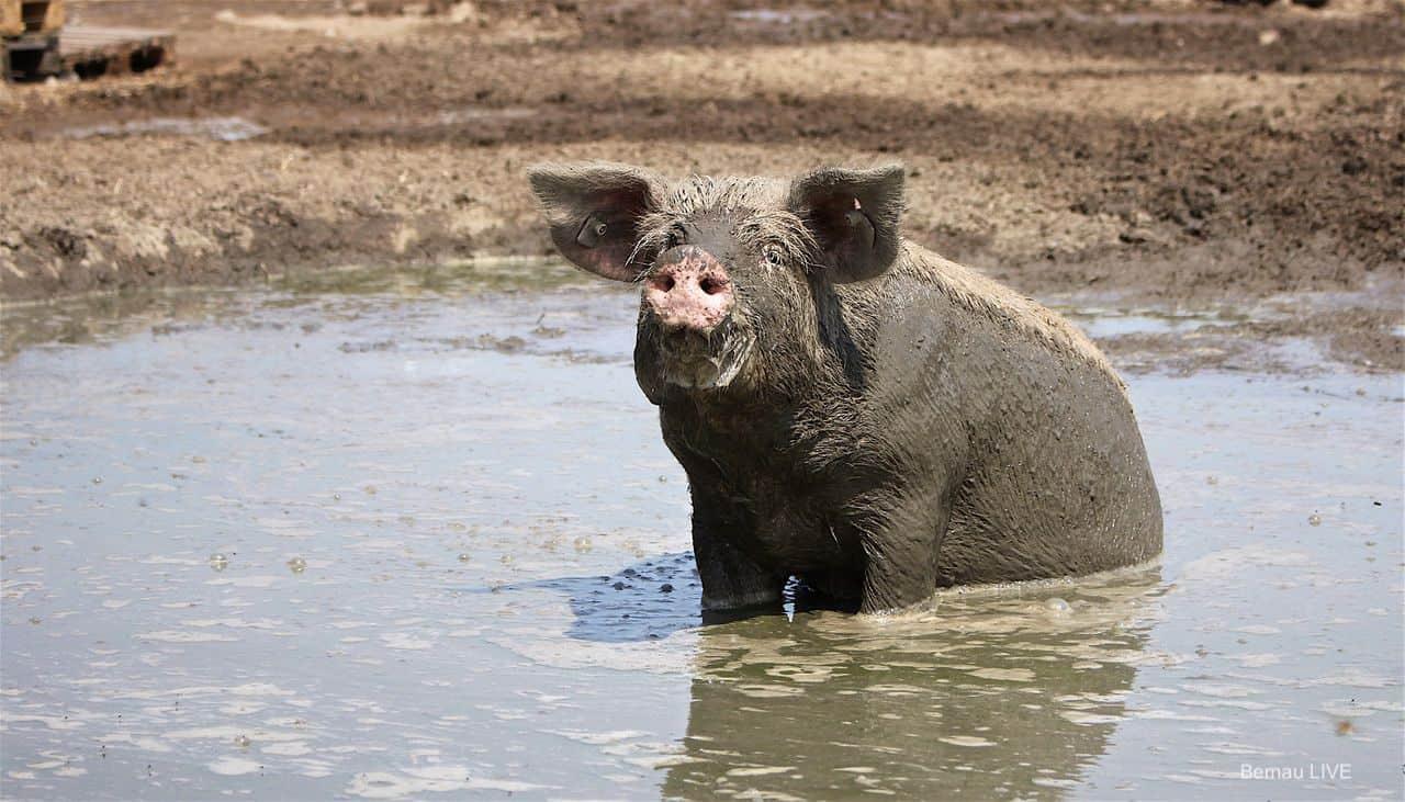 Schweinerei Schon Wieder Montag Guten Morgen Aus Bernau