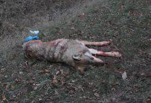 Barnim: Wolf auf der A11 zwischen Wandlitz und Finowfurt angefahren