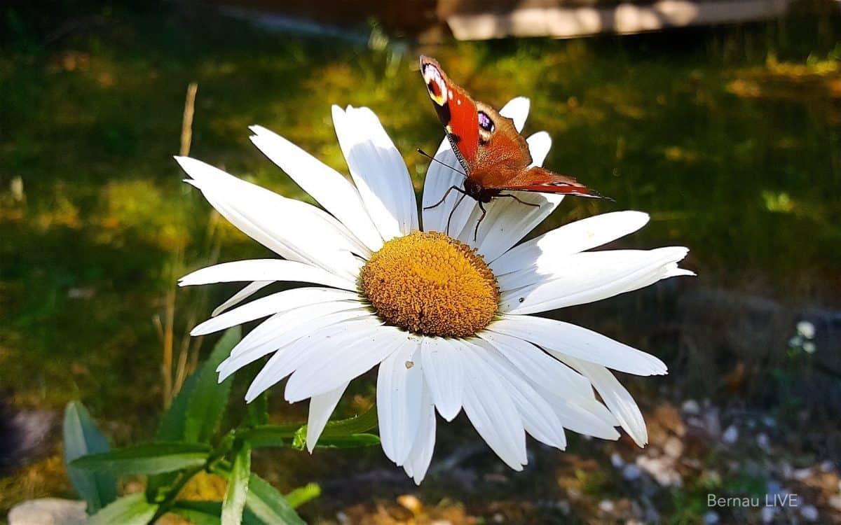 Sommer Schmetterling Bernau LIVE