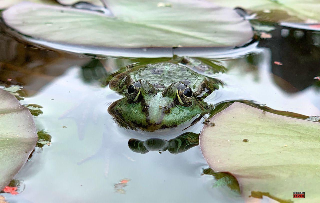 Frosch Teich Bernau LIVE 0000