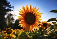 Sonnenblumen Bernau LIVE © Bernau LIVE