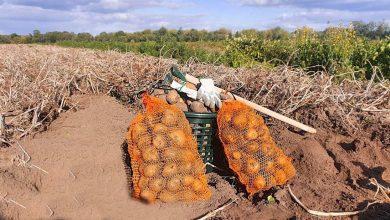 Photo of Kartoffeln mal einfach selbst ernten? Dies und mehr am Wochenende