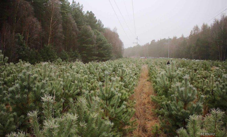 Photo of Morgen: Weihnachtsbaumschlagen im Bernauer Stadtwald