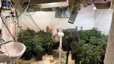 Photo of Ausgegärtnert! 200 Cannabispflanzen und Aufzuchtanlage in Panketal entdeckt