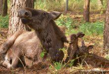 Photo of Trauer im Wildpark Schorfheide – Elchzwillinge haben es nicht geschafft
