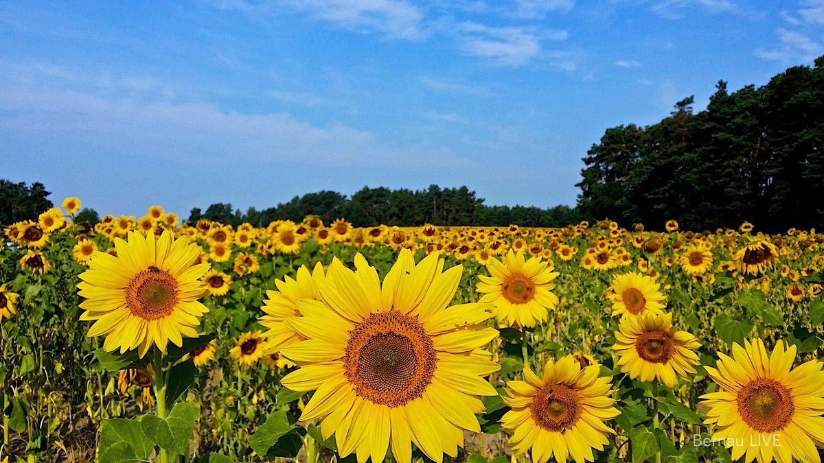 Bernau, Wochenende, Veranstaltungen, Barnim, Sonnenblume